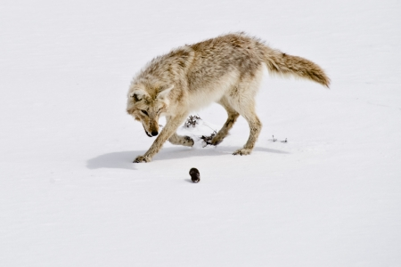 trickster: Coyote stalks a gopher that hes just dug out from under the snow