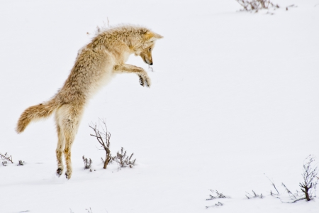 A coyote leaps into the air before diving into the snow to catch her prey photo