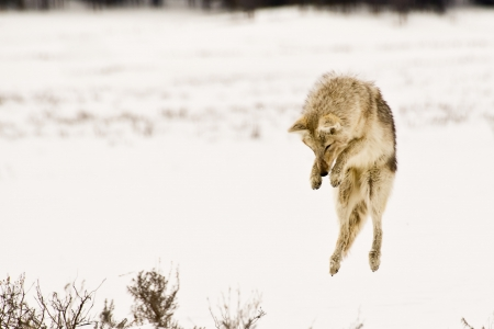 trickster: An airborne coyote prepares to dive into the snow in search of prey