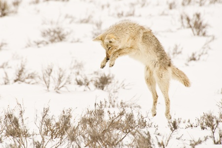 A coyote pounces on a gopher hidden beneath the snow