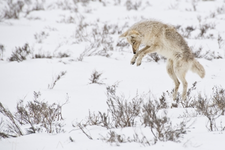 trickster: A coyote hunts for dinner beneath the snow