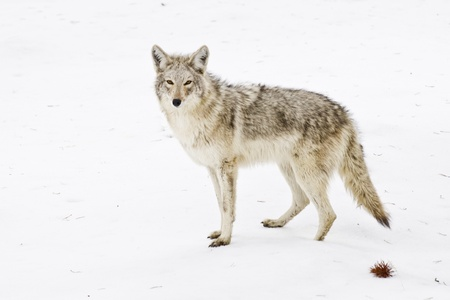 A coyote watches for any threat to he before she begins hunting