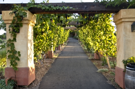 Walkway Shaded by Grape Vines