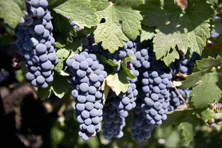 Famous old vine zinfandel grapes on the vine in a vineyard in Paso Robles California