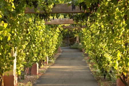 Grape vine arbor at sunset in a California wine country vineyard