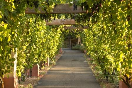 arbor: Grape vine arbor at sunset in a California wine country vineyard