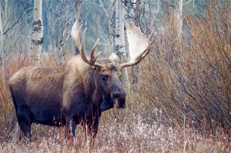 Close up photo of a bull moose in Grand Teton National Park