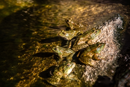 Six frogs rest on a rock in a shallow pond Stock fotó