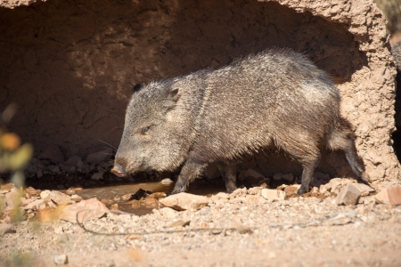 A Javelina, or collared peccary, prepares for a midday roll in a muddy hole to escape the desert heat  Reklamní fotografie