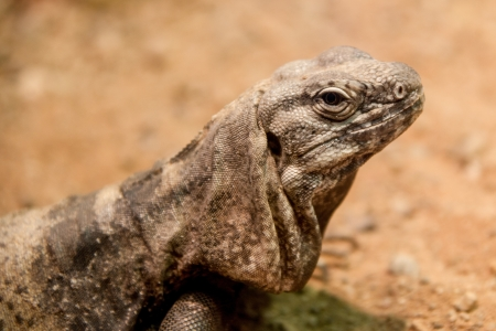 desert lizard: Extreme close up of a desert lizard