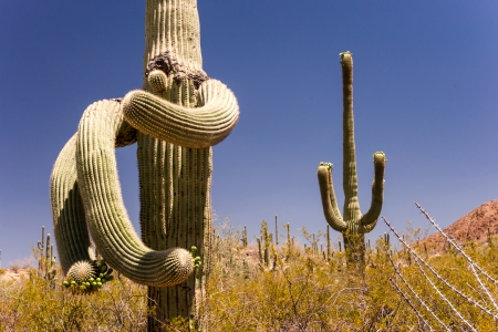 assume: Saguaro cacti assume strange shapes over the many decades of their lives
