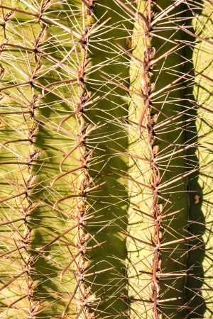 spines: Close up reveals the intricate web of cactus spines that provide shade and protection to the great Saguaro cactus