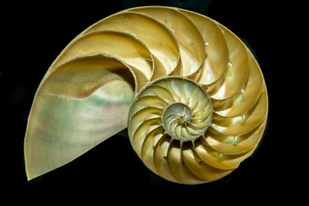 A cutway Nautilus shell demonstrates the mysterious geometric growth patterns known as the golden sprial, or Fibbonachi ratio