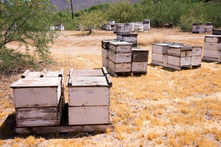 Beehives attract tens of thousands of honey bees in a rural field