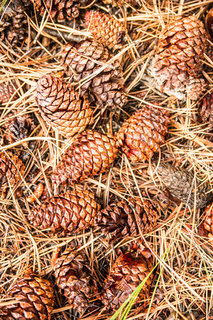 evoking: A bed of pine cones and needles carpet the forest floor evoking thoughts of Christmas.