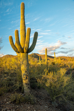iconic: The setting sun casts its warm light on an iconic Saguaro cactus near Tucson, Arizona. Stock Photo