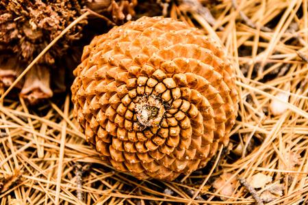 nombre d or: Mod�le de croissance en spirale d'un c�ne de pin. Banque d'images