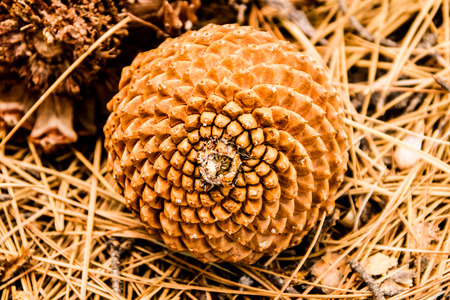 Spiral growth pattern of a pine cone.