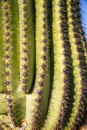 spines: Close-up of needle-like spines on a Saguaro cactus in Tucson, AZ.
