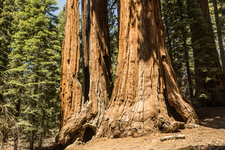 sequoia: A cluster of giant Sequoia trees at ground level.
