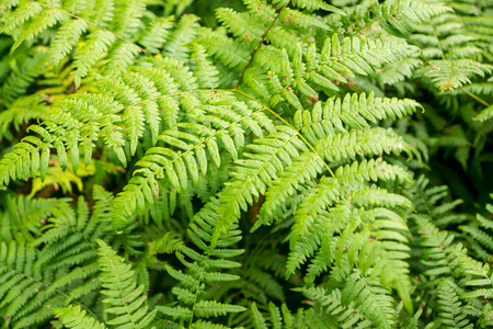 Close up of lush ferns in the New England.