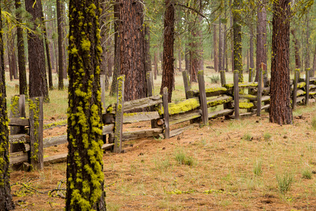 split rail: Moss and liches adorn a split rail fence in a Ponderosa pine forest.