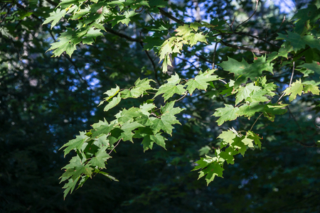 gleams: Dappled sunlight gleams on maple leaves during the last days before autumn.