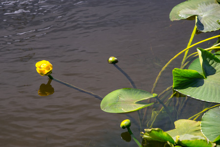 brighten: Yellow water lily flowers spring from under water to brighten a pond in Yellowstone Park,