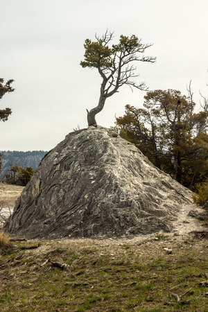 dormant: A hardy tree thrives on a dormant thermal mound in Yellowstone Park.