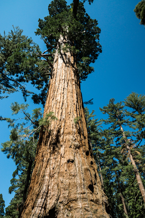 Photographs fail to capture the massive size of these spectacular Sequoia trees.