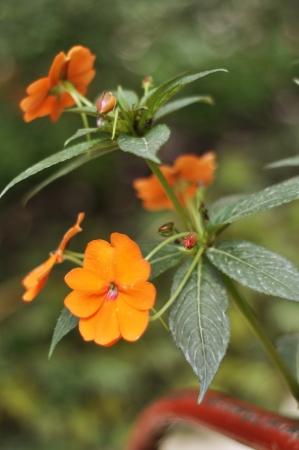 wallflower: Siberian wallflower orange flower Stock Photo