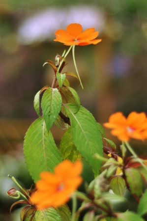 wallflower: Siberian wallflower Stock Photo