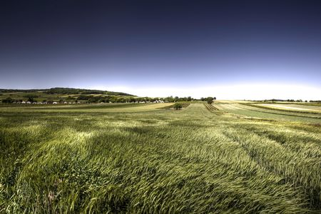 Green grain in windy day with blue sky photo
