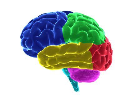 head injury: Human brain parts Stock Photo