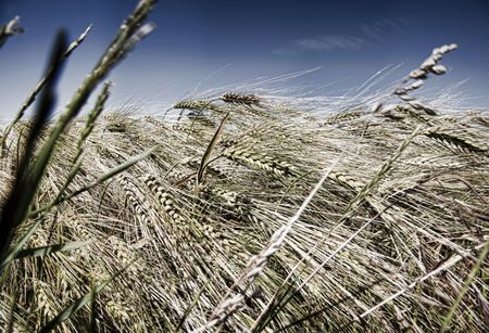 l natural: Silver Wheat in wind with blue sky Stock Photo