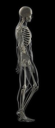 chest x ray: Maschio scheletro completo di scansione