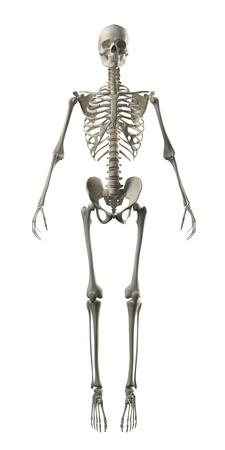 bone health: Full Frontal Skeleton Stock Photo
