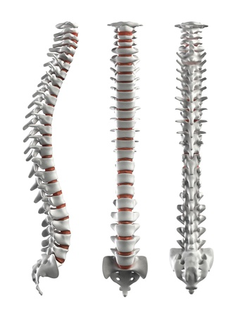 columna vertebral: Columna vertebral detallada con discos intervertebrales
