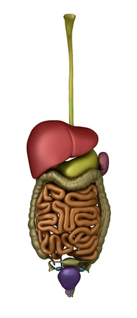 Anatomy of abdomen Stock Photo - 9609269