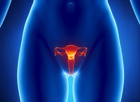 apparato riproduttore: Vista anteriore di utero, ovaie, tube uterine, cervice.