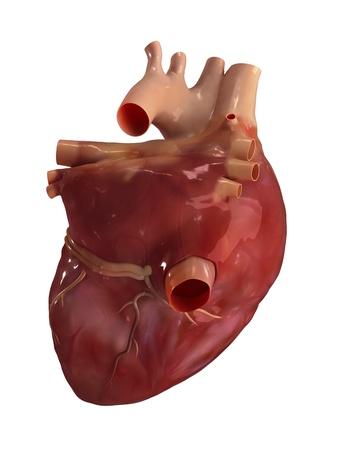 heart 3d: Heart posterior view Stock Photo
