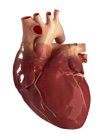 Human heart anatomy photo