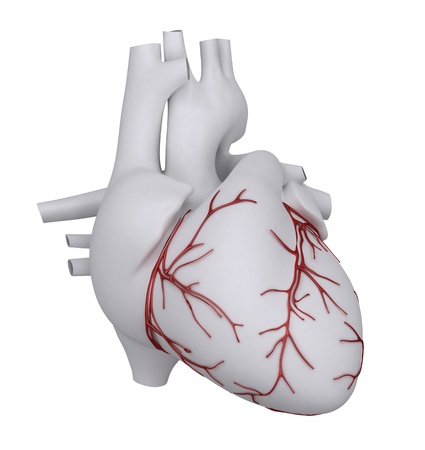Anatomy of human heart photo