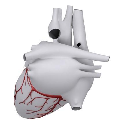Anatomy of human heart Stock Photo - 9609281