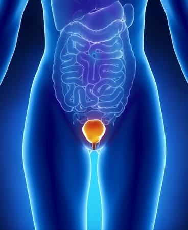 bladder: Medical concept