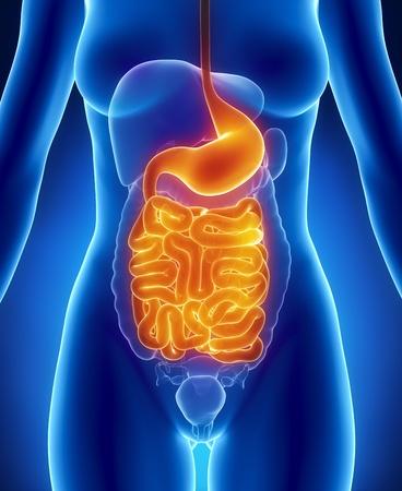 sistema digestivo: Sistema digestivo femenino Foto de archivo
