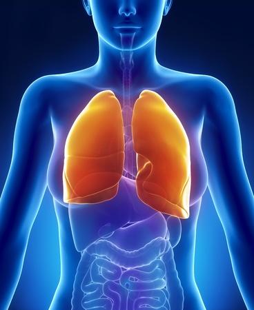 polmone: Vista anteriore a raggi x tronco