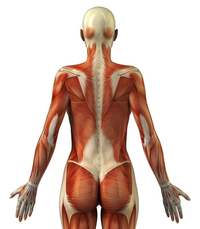 pectorals: Body without skin posterior view
