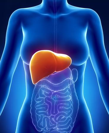 foie humain: Syst�me digestif de femme avec foie