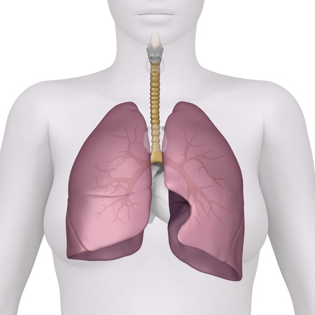 Anatomy of lungs and bronchus photo